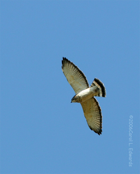 Broad-winged Hawk - Carol L. Edwards