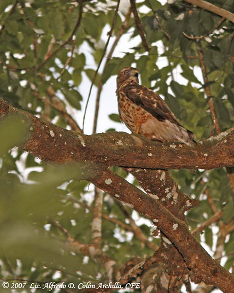 Broad-winged Hawk - Alfredo D. Colon