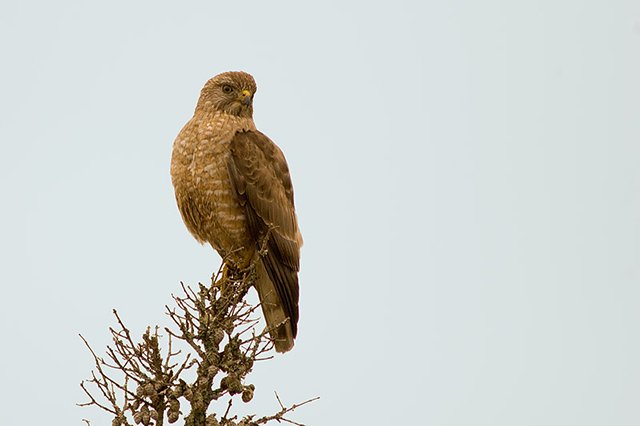 Broad-winged Hawk - Richard Stern
