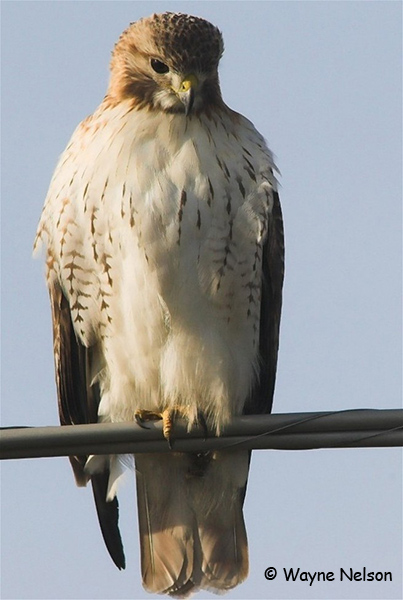 Red-tailed Hawk - Wayne Nelson