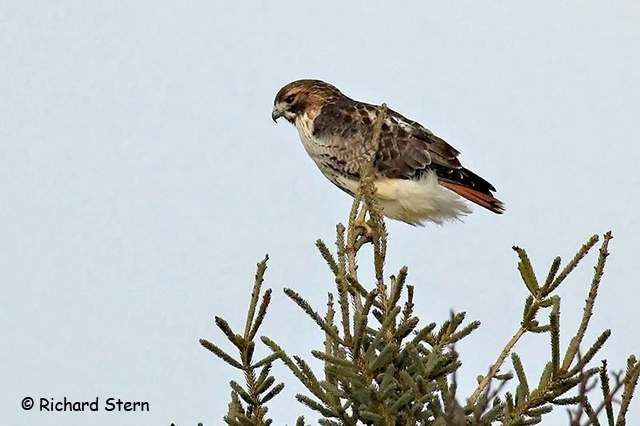 Red-tailed Hawk - Richard Stern
