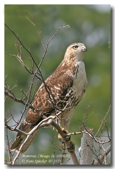 Red-tailed Hawk - Hans Spiecker