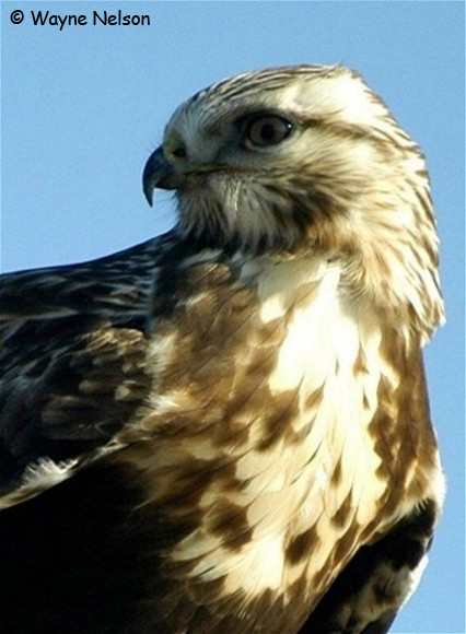 Rough-legged Hawk - Wayne Nelson