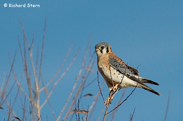 American Kestrel - Richard Stern