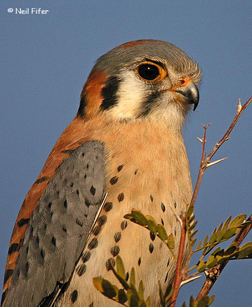 American Kestrel - Neil Fifer
