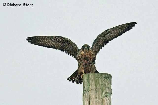 Peregrine Falcon - Richard Stern