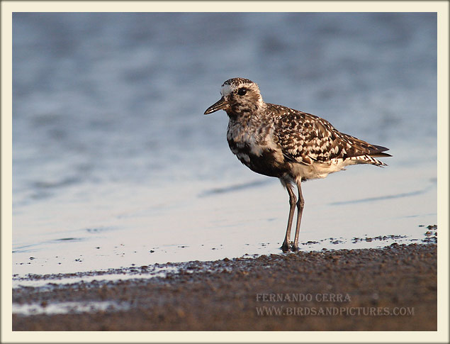 Black-bellied Plover - Fernando Cerra