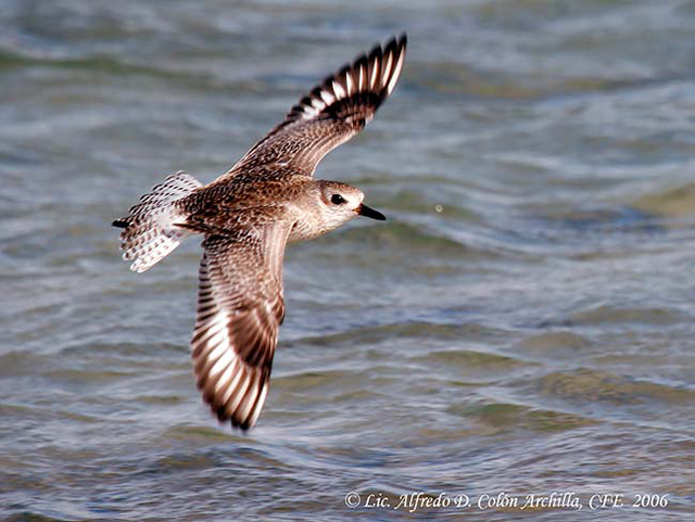 Black-bellied Plover - Alfredo D. Colon