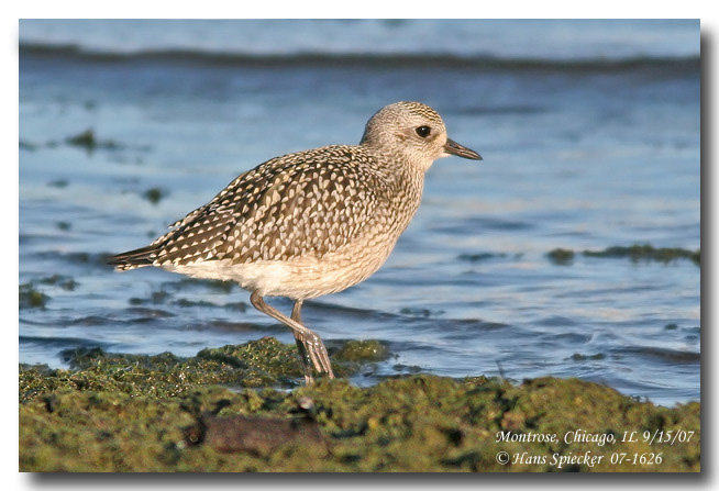 Black-bellied Plover - Hans Spiecker