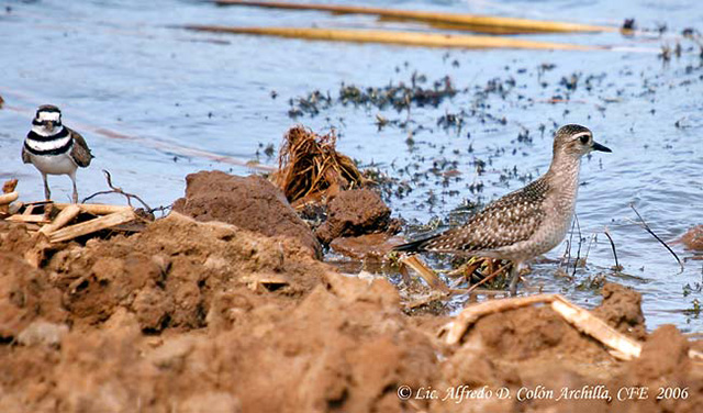 American Golden Plover - Alfredo D. Colon