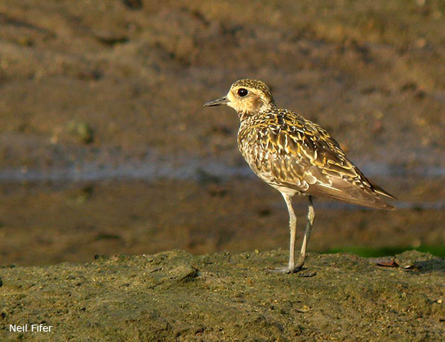 Pacific Golden Plover - Neil Fifer