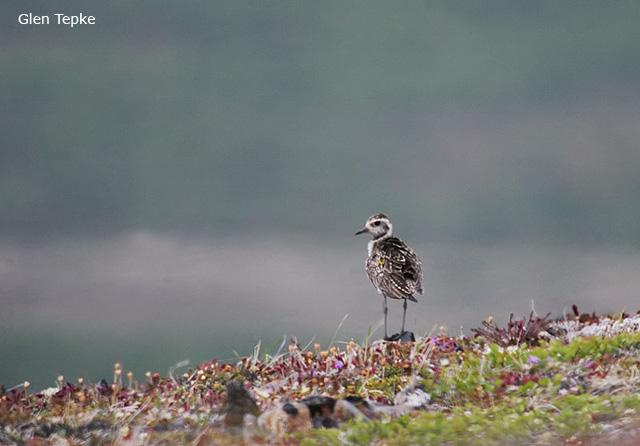 Pacific Golden Plover - Glen Tepke
