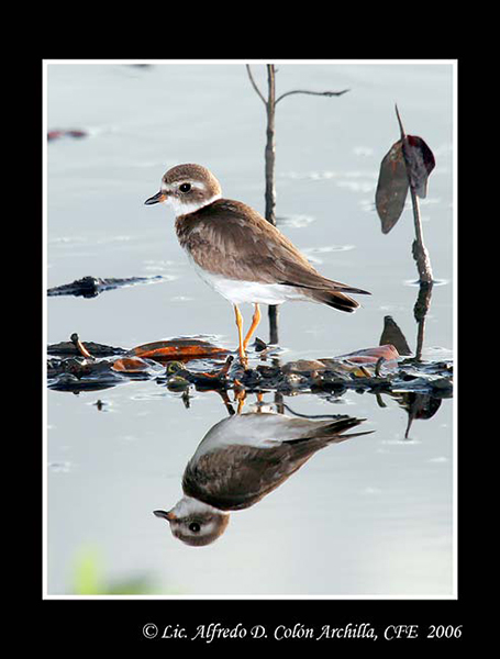 Semipalmated Plover - Alfredo D. Colon