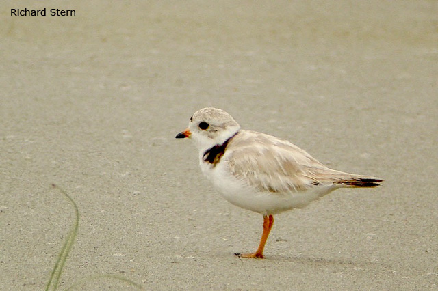 Piping Plover - Richard Stern