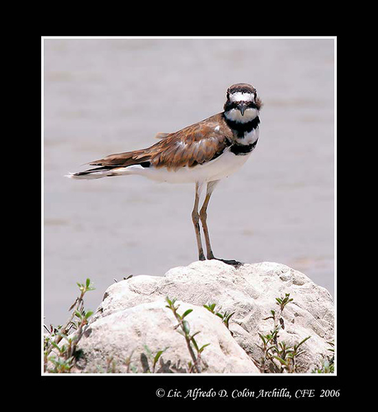 Killdeer - Alfredo D. Colon