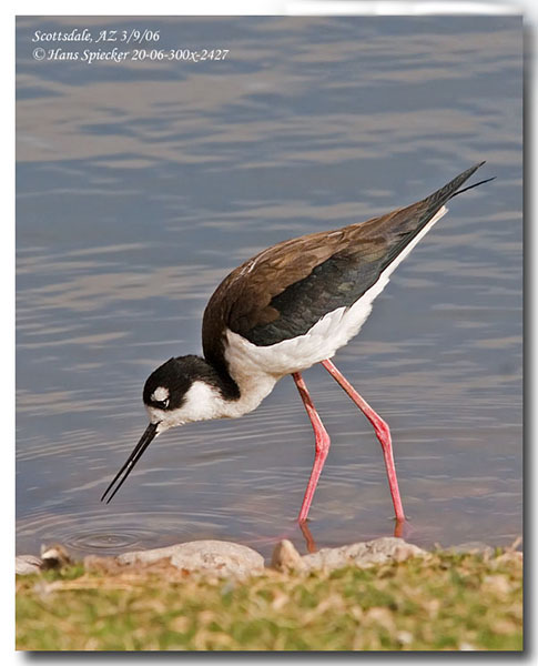 Black-necked Stilt - Hans Spiecker