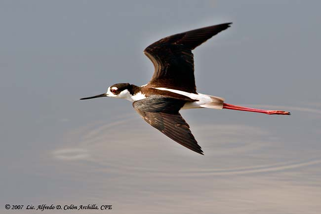 Black-necked Stilt - Alfredo D. Colon