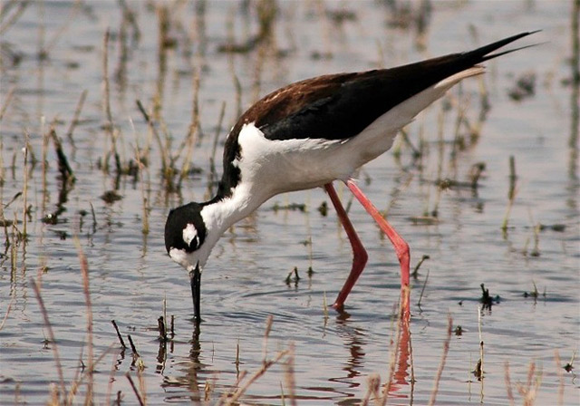Black-necked Stilt - Wayne Nelson