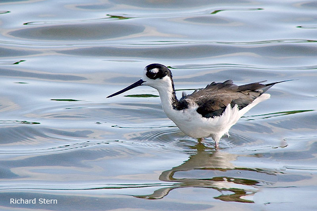 Black-necked Stilt - Richard Stern