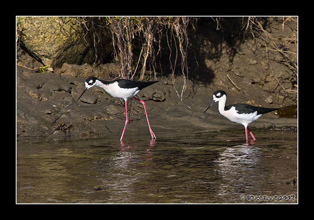 Black-necked Stilt - Bruce Enns