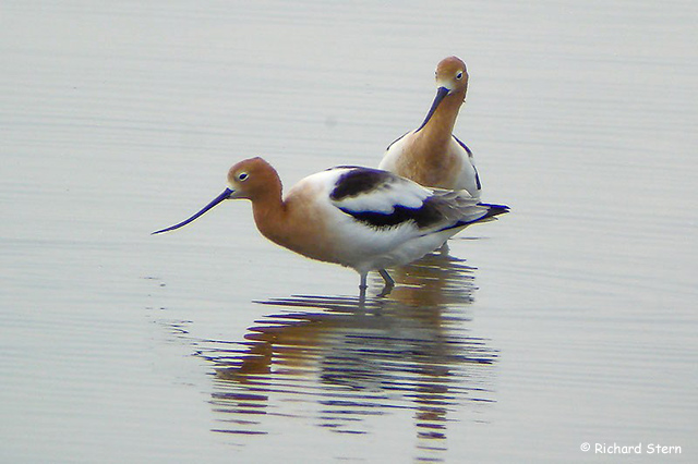 American Avocet - Richard Stern