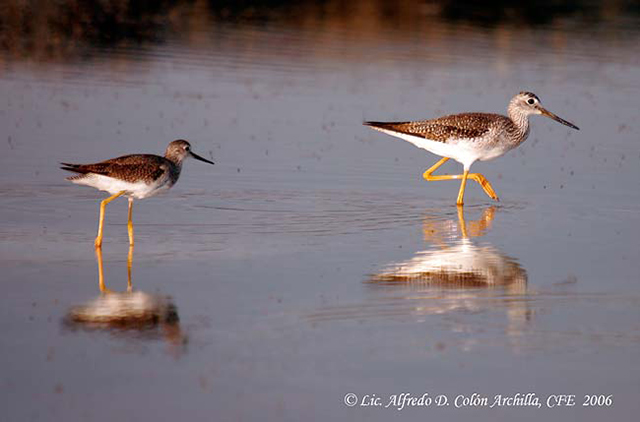 Greater Yellowlegs - Alfredo D. Colon