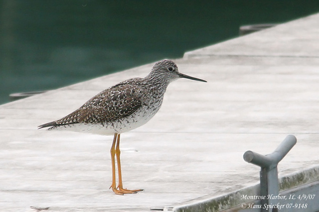 Greater Yellowlegs - Hans Spiecker