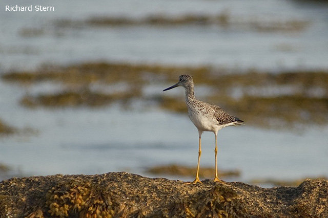 Greater Yellowlegs - Richard Stern
