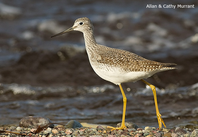 Greater Yellowlegs - Allan and Cathy Murrant