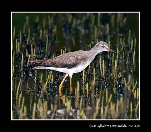 Lesser Yellowlegs - Alfredo D. Colon