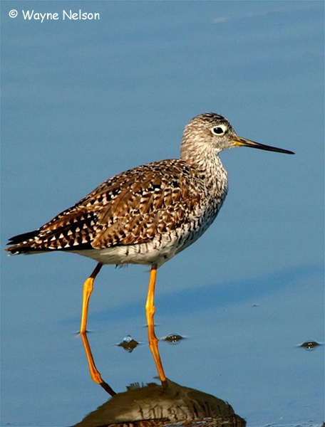 Lesser Yellowlegs - Wayne Nelson