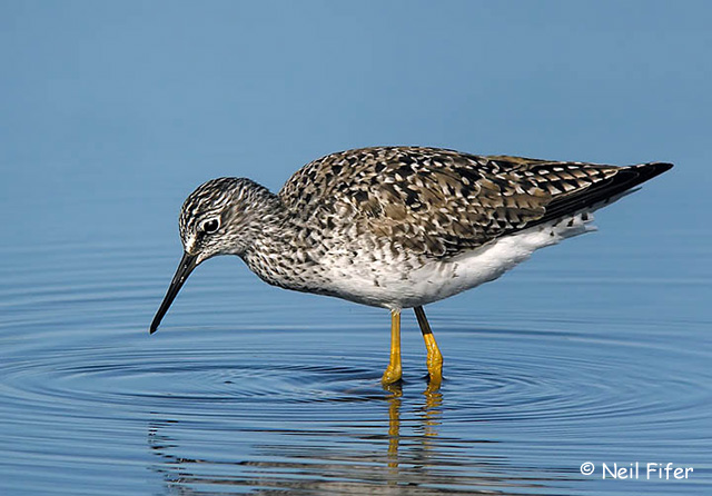 Lesser Yellowlegs - Neil Fifer