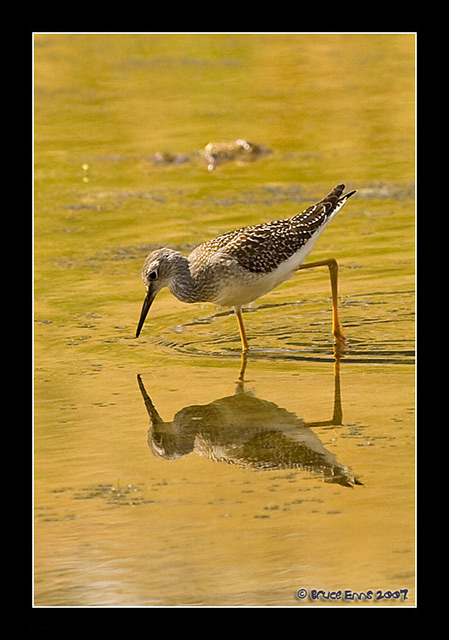 Lesser Yellowlegs - Bruce Enns