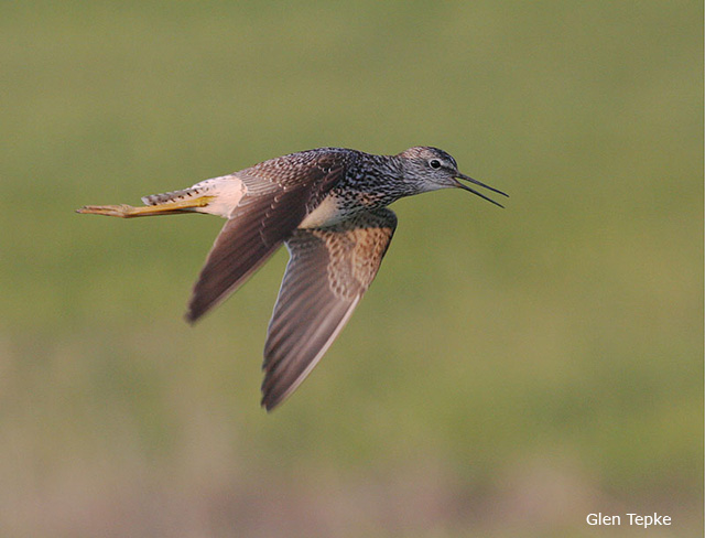 Lesser Yellowlegs - Glen Tepke