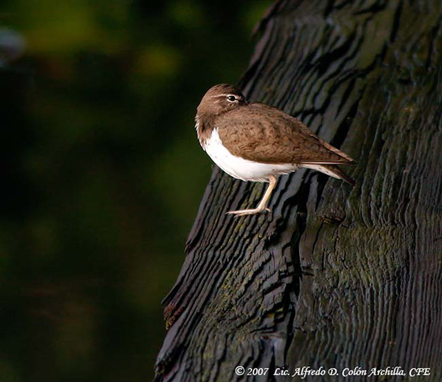 Spotted Sandpiper - Alfredo D. Colon