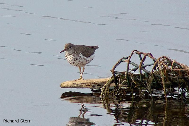 Spotted Sandpiper - Richard Stern
