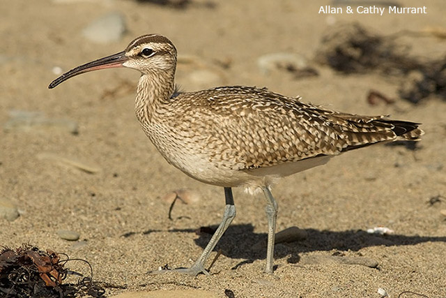 Whimbrel - Allan and Cathy Murrant