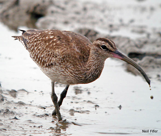 Whimbrel - Neil Fifer