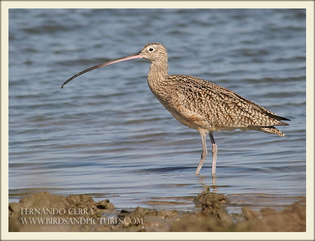 Long-billed Curlew - Fernando Cerra