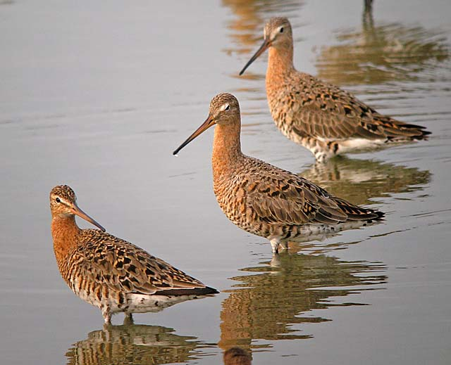 Black-tailed Godwit - Neil Fifer