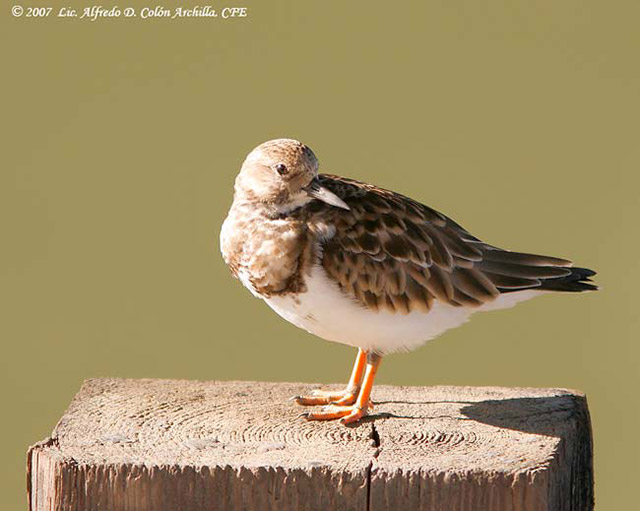 Ruddy Turnstone - Alfred D. Colon