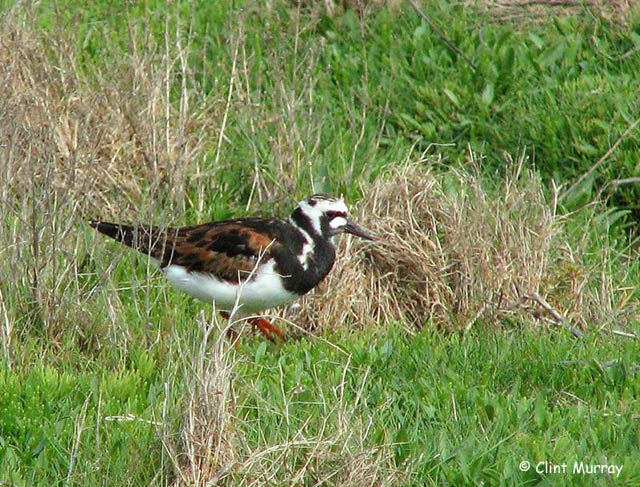 Ruddy Turnstone - Clint Murray