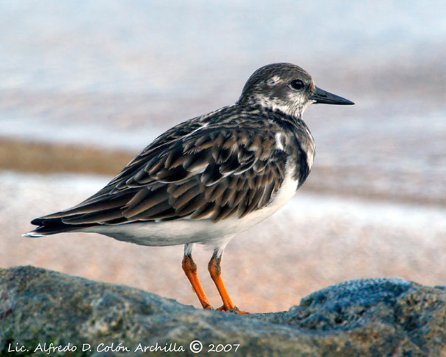 Ruddy Turnstone - Alfredo D. Colon