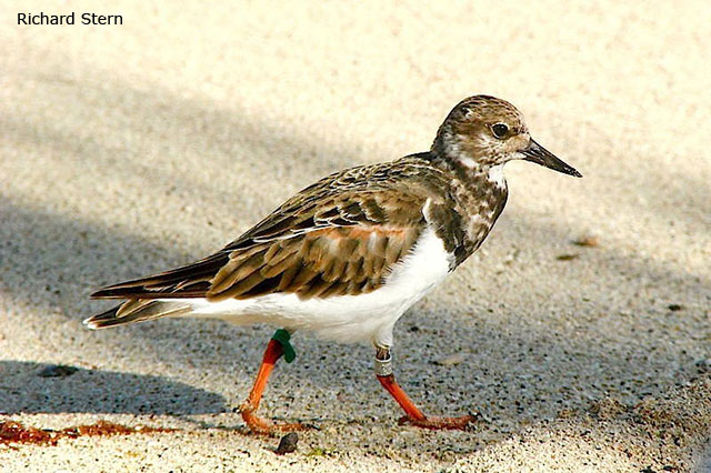 Ruddy Turnstone - Richard Stern