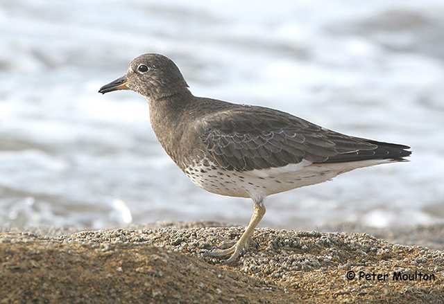 Surfbird - Peter Moulton