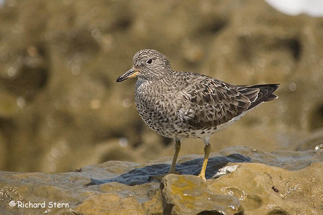 Surfbird - Richard Stern