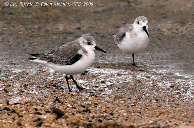 Sanderling - Alfredo D. Colon