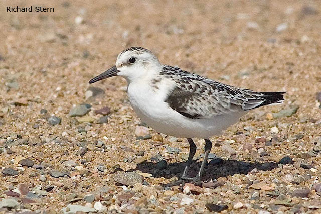 Sanderling - Richard Stern