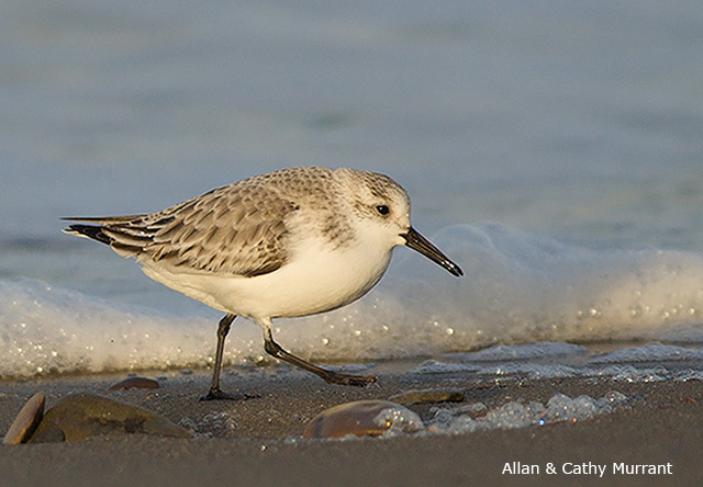 Sanderling - Allan and Cathy Murrant