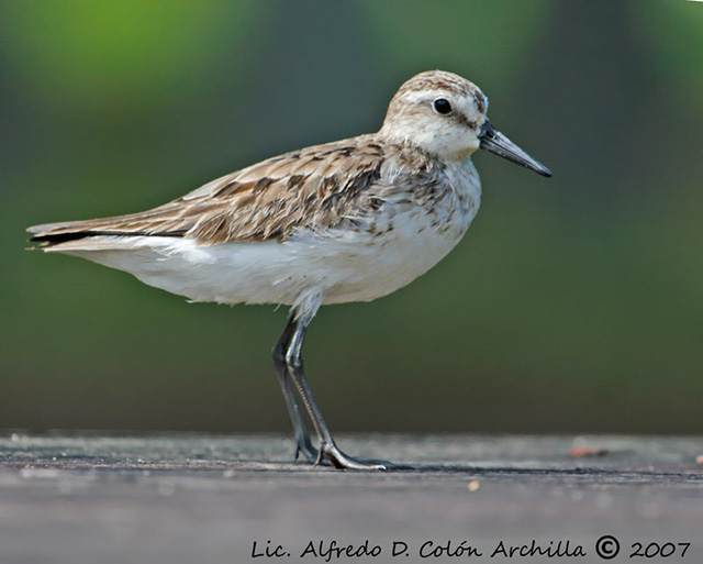Semipalmated Sandpiper - Alfredo D. Colon